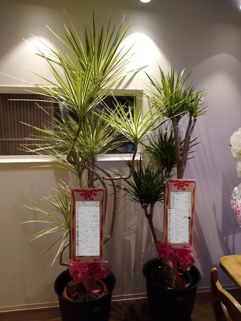 観葉植物(コンシンネ)1万5千円。大きさ・種類によって値段が変わります。1万5千円前後が人気です。